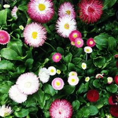 English #daisies in the nursery. Another from the lovely Nicole Franzen. #terrainsignsofspring
