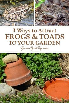 Gardening For Beginners 3 Ways to Attract Toads to Your Garden: Attracting frogs and toads to your vegetable garden will help moderate pest populations without the need for chemical or natural pesticides.