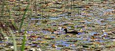 Seerosen auf dem Niedersonthofener See