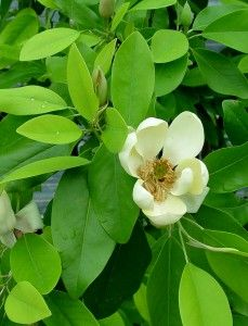 Flower of magnolia virginiana 'Moonglow'