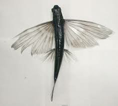 flying fish wing - Google Search