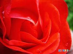 Red Rose ~ HD Wallpapers Point