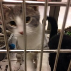 Zippy is also at PetSmart Coon Rapids. He is a 12 week old male. He has cerebella hypoplasia which means he wobbles when he walks but he is still a pretty fast kitten! He is a total love bug and a great kitten! — at Petsmart, CoonRapids.