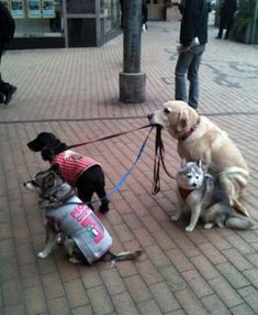 Dogs walking dogs.