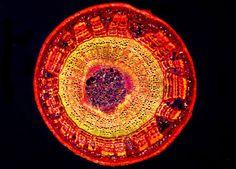 Nikon MicroscopyU | Digital Image Galleries | SMZ1500 Fluorescence Image Gallery