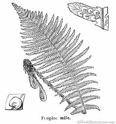 Illustration showing a Male fern (Dryopteris), a genus of about 250 species of ferns with distribution in the temperate Northern Hemisphere, with the highest species diversity in eastern Asia