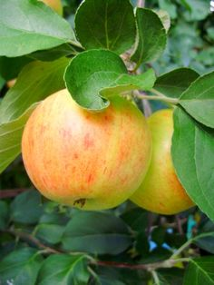Dessert apples (Malus domestica) 'Vista bella' Colorful Fruit, Tropical Fruits, Apple Garden, Types Of Fruit, Apple Harvest, Rose Family, Apple Orchard, Deciduous Trees, Orchards