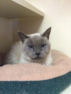Eudora • Cat • Siamese • Adult • Female • Medium The Animal Rescue Center Eastlake, OH