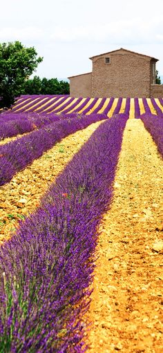 Lavender Field in Pr
