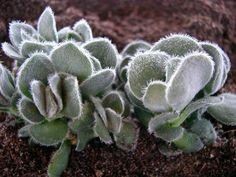 tomentosa Crassula Succulents, Vegetables, Plants, Succulent Plants, Vegetable Recipes, Plant, Veggies, Planets