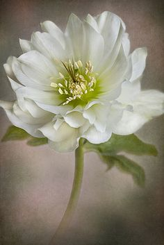 Christmas Rose... Another beauty. I love white flowers... so pure and innocent... ~ Zeta M Mood | Photo by Jacky Parker Floral Art on flickr