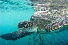 Sub salva tartaruga di mare incastrata in una rete da pesca - http://www.ahboh.it/su-salva-tartaruga-mare/