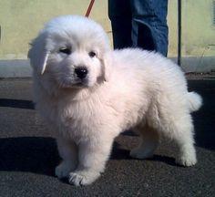 Owczarek Podhalanski #puppy 8 weeks old | Koirat.com