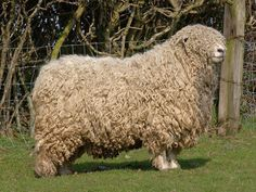Devon Longwooled s a breed of domestic sheep from the United Kingdom. This breed is raised for meat and long wool.