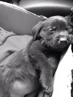 My car journey home.  Puppy - labrador - chocolate labrador - chocolate lab - dog - petersfield - pet - play - animal - love.