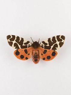 Arctia caja, garden tiger moth