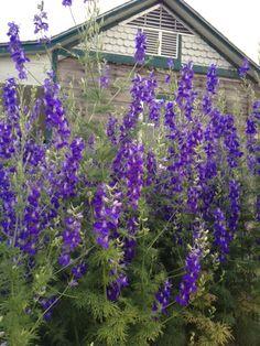 My farm wildflower garden 5' tall Larkspur