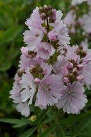 Sidalcea `Elsie Heugh` (Griekse malva) Deze plant is geschikt voor de ondersteuning door de Solitairpin van www.detuinfee.nl. Verkrijgbaar in 4 hoogtes.