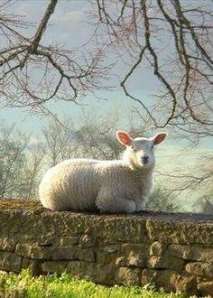 Ana Rosa, bellasecretgarden: Sheep ~ England (via...