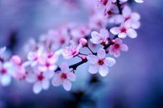 Cherry blossoms sakura kyoto japan - (#164976) - High Quality and Resolution Wallpapers on hqWallbase.com