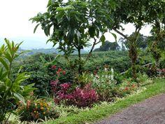 Cafetal camino al volcán Poás (Alajuela)