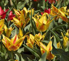 NEW! Tulip Winnipeg - White Flower Farm