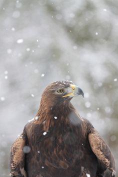 "wonderous-world: "" Golden Eagle by Munkey Boy "" Kinds Of Birds, Love Birds, Beautiful Birds, Animals Beautiful, Farm Animals, Cute Animals, Bird Book, Golden Eagle, Life Form"