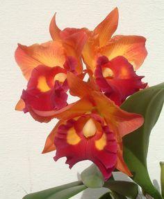 orquidea laranja