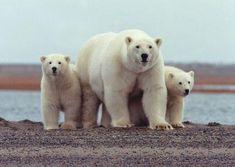 Wat gebeurt er met de ijsbeer als het ijs smelt? In die lesidee ontdek je het. Scene Kids, Alaska, Animals And Pets, Cute Animals, Wild Animals, Baby Animals, Wildlife Park, Animal Facts, Diy Stuffed Animals
