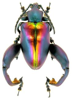 Sagra buqueti. This is one of the species of 'frog-legged' beetles. Love the iridescence, this is a true Beetle Beauty!                                                                                                                                                      More