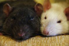 cute rats by katka139 on DeviantArt
