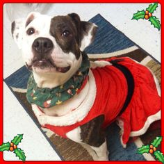 I made sure I was all shiny and pretty for the holidays, and now I'm ready to be leashed up and taken home by my person who will love ...