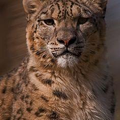 ~~ Snow Leopard Portrait v2 ~~