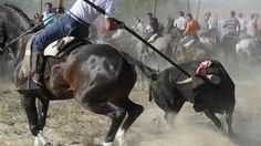 PLEASE SIGN! THis is going on in  SPAIN!!! Ayuntamiento de Tordesillas y Diputación Provincial de Valladolid.: Prohibición del Toro de la Vega (Tordesillas)