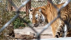 The Amarillo Zoo offers a variety of exotic animals, from lions and tigers to spider monkeys and anacondas.
