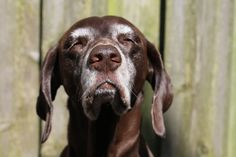 Just like human hair, dogs fur can go gray if they're going through tough times, a new study finds.