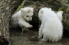 11 Photos Of Twin Polar Bears That Will Make Any Crappy Day Better. This is the cutest thing I have ever seen