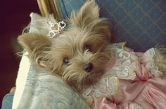 Marie Antoinette Yorkie