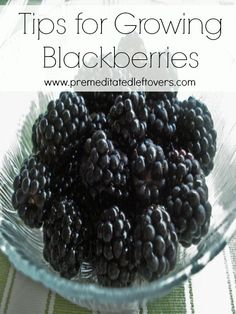 Tips for Growing Blackberries, including how to plant blackberries, how to grow blackberries in containers, how to care for blackberries, and more.