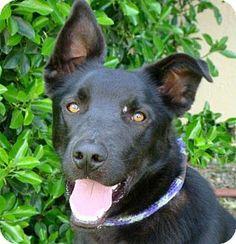 Red Bluff, CA - Labrador Retriever Mix. Meet HUEY a Dog for Adoption.