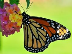 In this lesson, students will choreograph an original dance that communicates the life cycle stages of the monarch butterfly. They will read Eric Carle's book, The Very Hungry Caterpillar, and explore the monarch butterfly migration process.