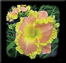 Image result for daylily