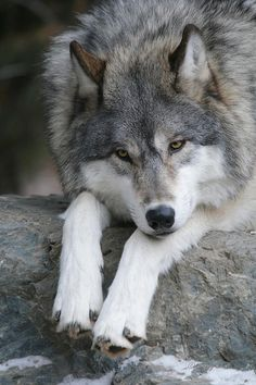 Wolf - The Beauty of Wildlife Wolf Photos, Wolf Pictures, Animal Pictures, Wolf Spirit, Spirit Animal, Beautiful Creatures, Animals Beautiful, Tier Wolf, Animals And Pets