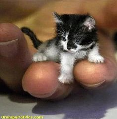 How Small Is The Smallest Cat In The World - How Big Is
