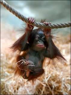 Not a big fan of the monkey species, but this baby orangutan is cute Primates, Cute Baby Animals, Animals And Pets, Funny Animals, Monkeys Animals, Funny Monkeys, Wild Animals, Baby Orangutan, Cute Monkey