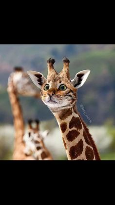 Cute Funny Animals, Cute Cats, Funny Cats, Funny Cat Faces, Photoshopped Animals, Animal Mashups, Cute Animal Photos, Animal Species, Tier Fotos
