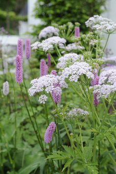 Chaerophyllum hirsutum 'Roseum' - Det danske navn er bjerghulsvøb.