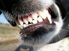 Dog Teeth Dental Health