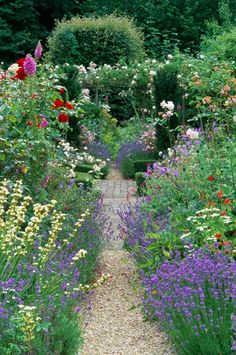 Frith Lodge, Sussex. Country cottage garden in summer. Gravel path with mixed borders of roses, lavender, Lavendula angustifolia 'Hidcote' and perennials.