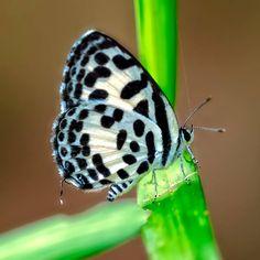 Common Pierrot butterfly (Castalius rosimon)